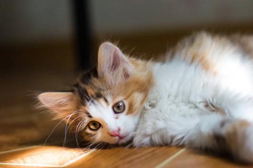 フローリングに寝転がる子猫