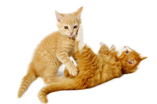 じゃれ合う二匹の子猫