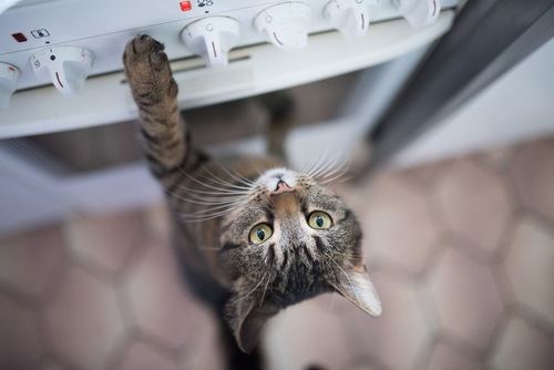 オーブンに手を伸ばすキジトラ