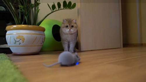 ネズミのオモチャをみる猫