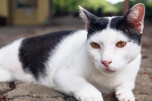 頭の模様が特徴的な猫