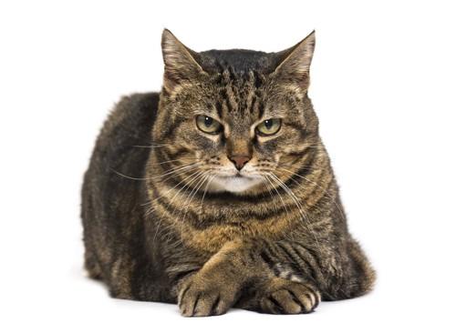 嫉妬している猫