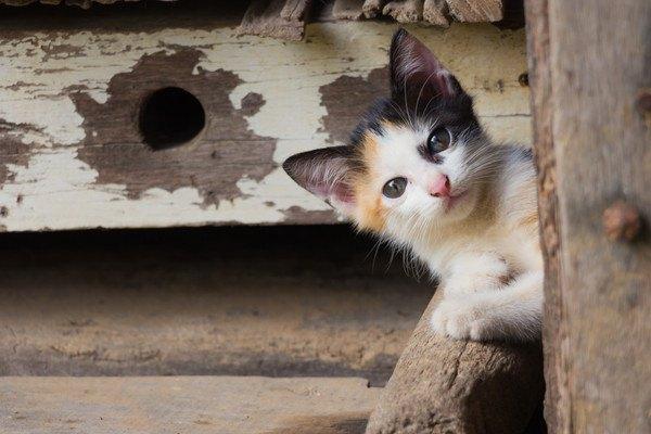 木の間から顔を出す三毛の子猫