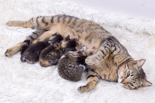 カーペットの上で授乳する母猫