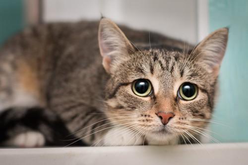 姿勢を低くして怯える猫