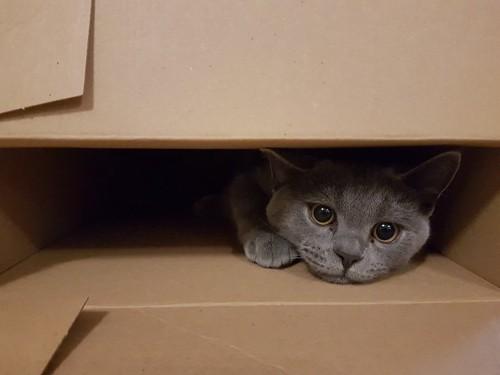 箱の中に隠れているグレーの猫