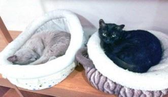 ネコベッドで寝る2匹の福猫茶房の猫