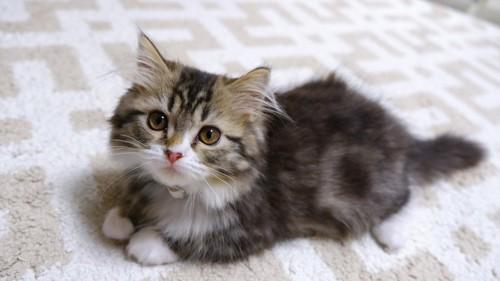 子猫なミヌエット