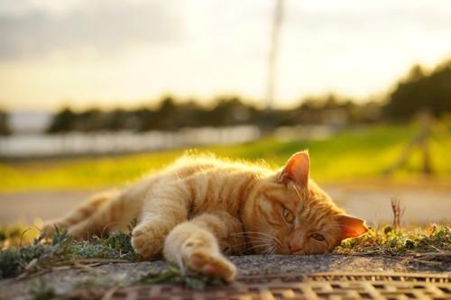 夕焼けに照らされて横たわる猫