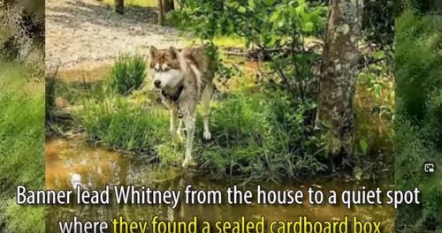 森の中を歩くハスキー犬