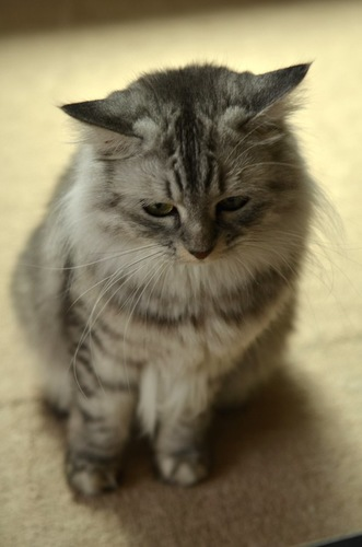 しょんぼりした表情で座る猫