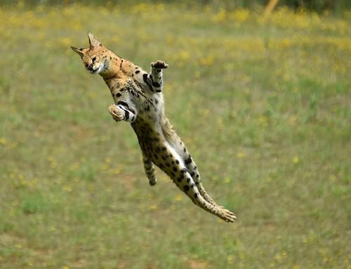ジャンプするサーバルキャット