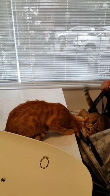 カバンに入る猫