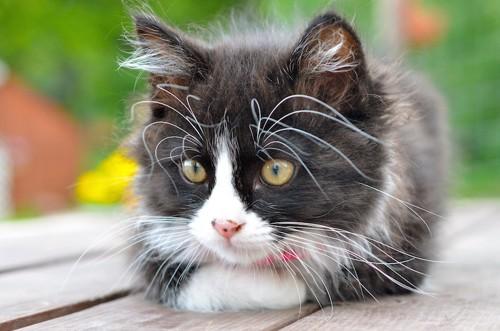 ベンチの上でくつろぐハチワレ猫