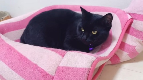 猫ベッドにいる黒猫