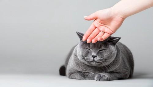 手の甲で頭を撫でられる猫