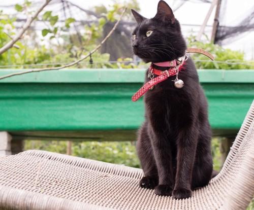 赤い首輪の黒猫
