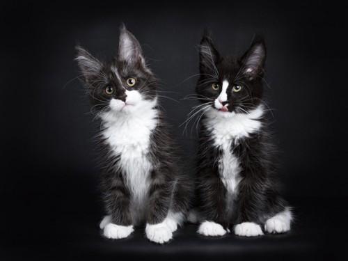 座っている2匹のメインクーンの子猫