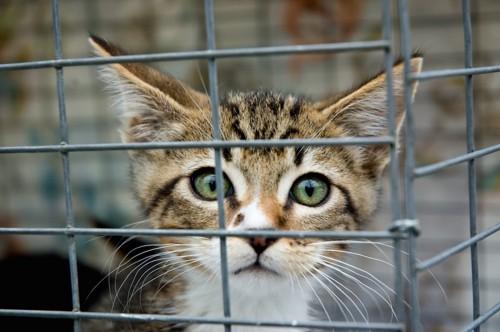 ケージの中から見つめる仔猫