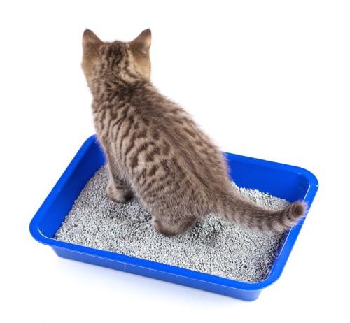 猫トイレにいる子猫の後ろ姿