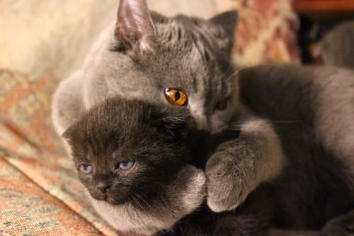子猫を抱きしめるブリティッシュショートヘアの母猫