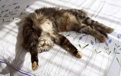 バンザイして寝ている猫
