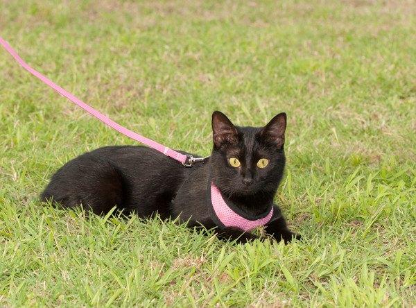草の上のピンクのハーネスを付けた黒猫