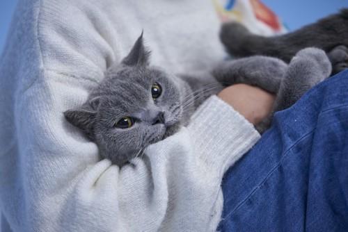 飼い主の膝の上で寛ぐグレーの猫