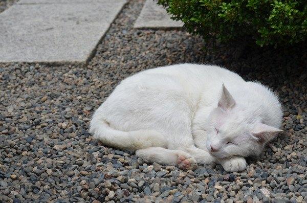 顔と足をだして丸くなる白猫