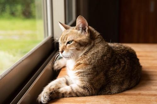 前足を重ねて外を見る猫