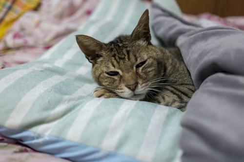布団をかけて枕を使って眠る猫