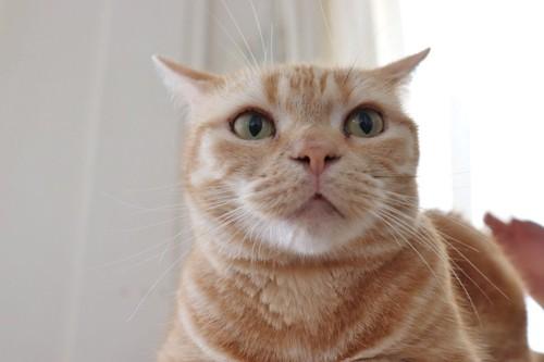 イカ耳ドアップの猫