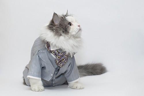 グレーのスーツの猫
