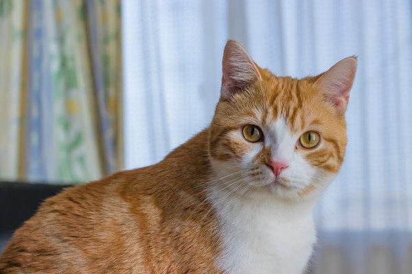 凛々しい表情でこちらを見てる茶トラの猫
