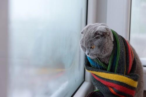 窓辺でブランケットにくるまり寒そうにする猫