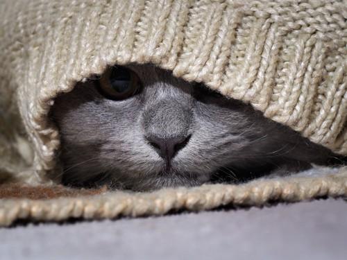 ニットの中に隠れる猫