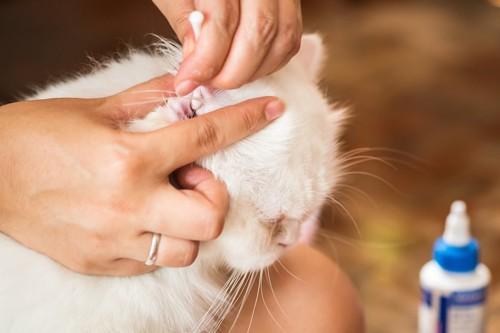 耳掃除をされている猫