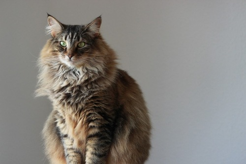 お座りする猫
