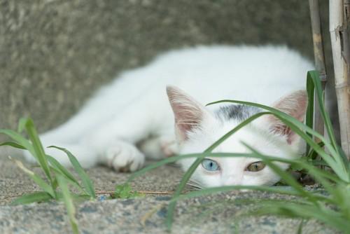草の陰に隠れるオッドアイの子猫