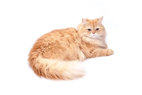 伏せているペルシャ猫