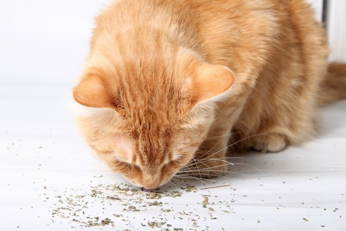 猫とキャットニップの粉