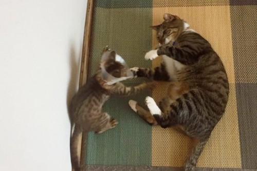 2匹でじゃれている猫たち