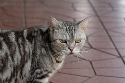 不機嫌な顔をしている猫