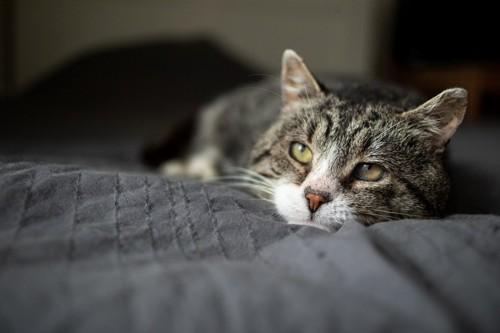 遠い目の猫