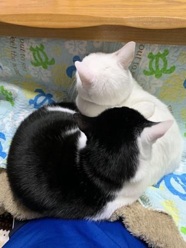 膝の上で寝る2匹の猫