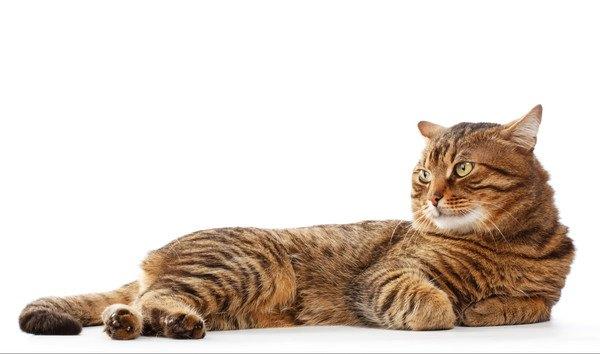 耳をうしろにさせる茶色いキジ猫