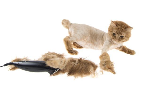 ライオンカットした毛を見ている猫