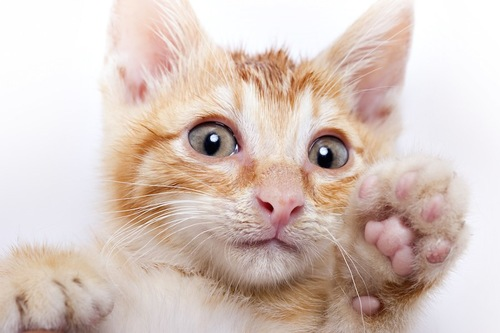 片手を上げた子猫の顔アップ