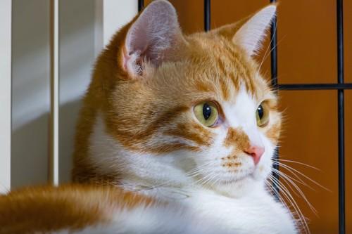 ゲージの中にいる猫の顔アップ