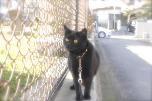 リードをした猫のお散歩写真